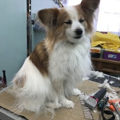 Papillon Being Groomed